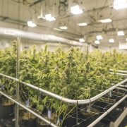 Cannabis plants growing in cannabis company growing facility